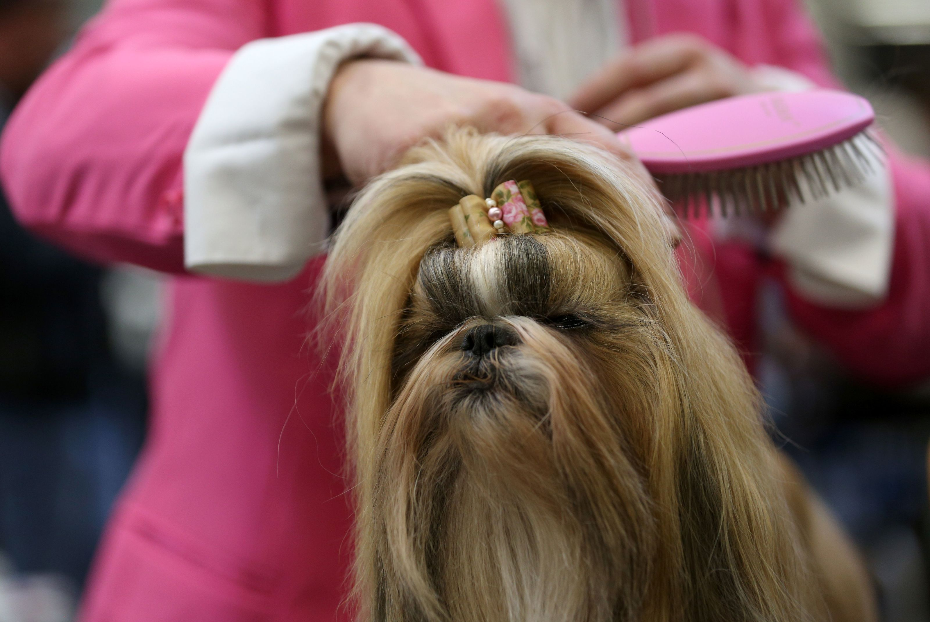 Dog Breeds 101 Getting To Know The Regal Shih Tzu