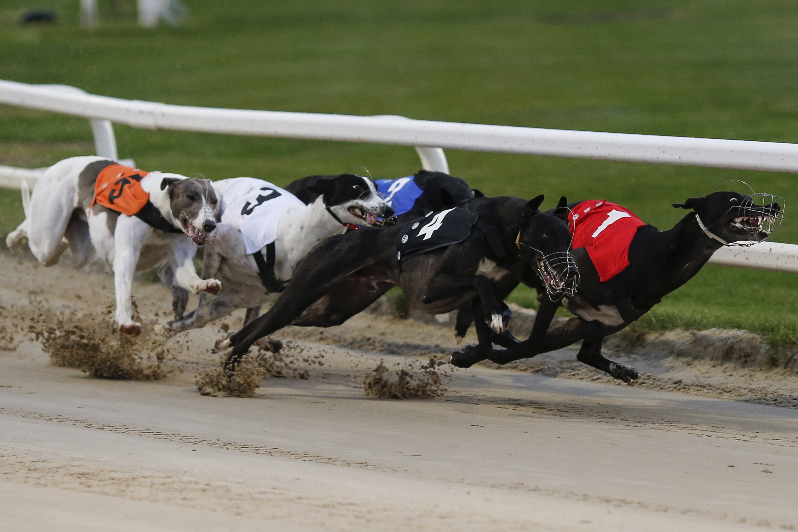 Greyhound puppy derby betting games sands casino sports betting